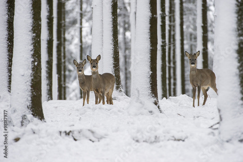Plakat chevreuils dans la neige en hiver