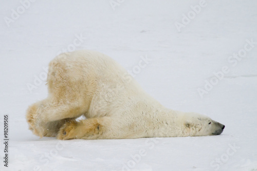 Foto op Canvas Natuur silly polar bear
