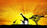 jirafas salvajes bajo el sol de Africa