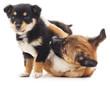 Quadro Two puppies.