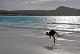 Fototapety Kangourou Cape Legrand national park 3
