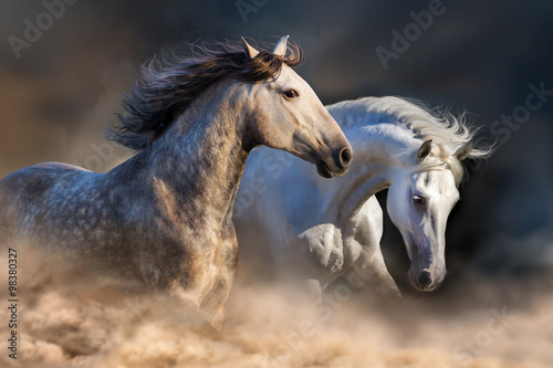 Couple of horse run in dust at sunset light