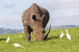 Rhino closeup animal wildlife birds summer rural landscape