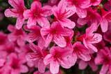 fioritura di azalee