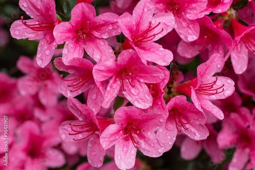 Plexiglas Roze fioritura di azalee