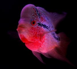 Flowerhorn w akwarium czarny