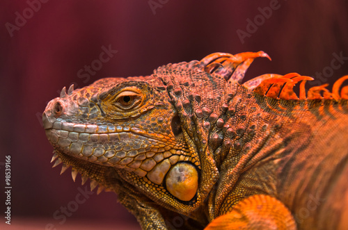 obraz lub plakat Close-up portrait of curious Iguana reptile