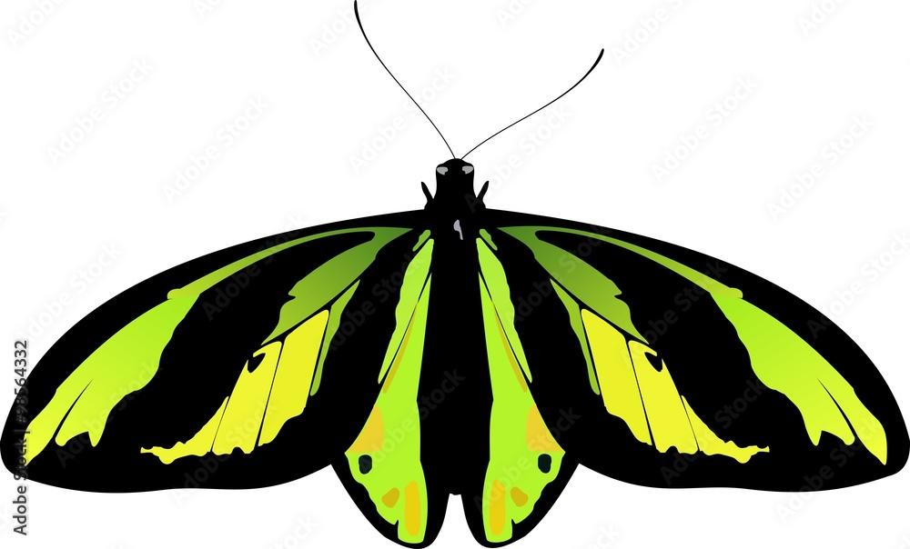 owad największy lepidoptera - powiększenie