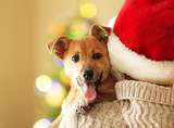 Fototapety Woman in Santa hat holding at shoulder small funny cute dog on Christmas background