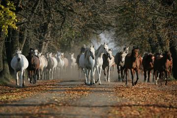 Koni czystej krwi arabskiej na drodze wieś w zamglony światło