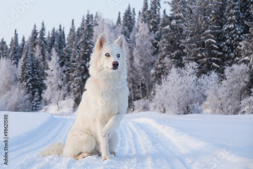 Siberian dog in forest