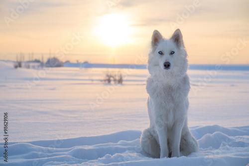 Póster Husky / laika Yakutian