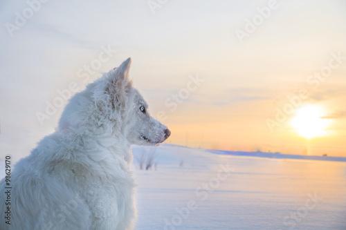 Husky in Syberia Poster