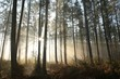 Coniferous forest on a foggy autumn morning