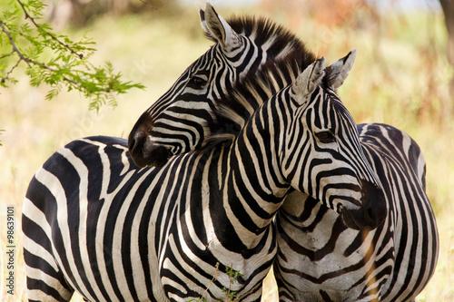 Obraz na Szkle Zebras