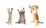Joyful cat, raccoon and dog isolated on white background