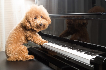 Concept of cute poodle dog preparing to play grand piano