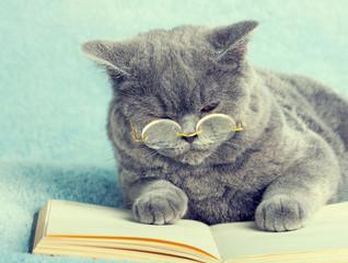 Niebieski Kot brytyjski jest noszenie okularów leżącego na książki