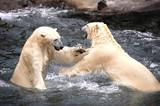 spielende Eisbären im Zoo Hannover
