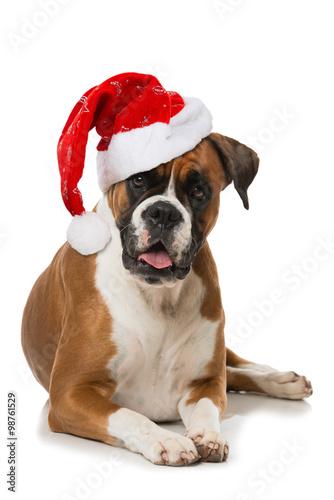 Poster Boxer mit Weihnachtsmütze