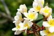 white and yellow Plumeria flower