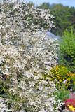 Clematis paniculata (Clematis paniculata)