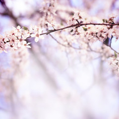 Sakura flowers in spring