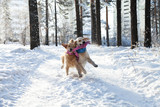 Two golden retriever playing in the snow