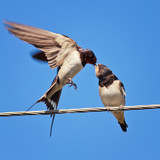 the swallow feeds her chick on the wires - 98912950