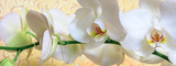 Fototapety Flowers white orchid