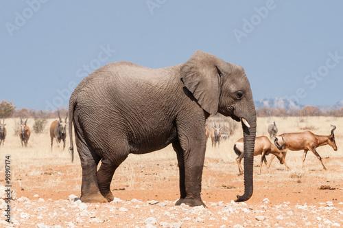 Poster Elefant und Antilopen im Etosha Nationalpark; Namibia