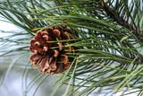 Pine Cone - 98956794