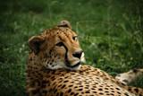 Gepard som ligger i gräset och tittar på något