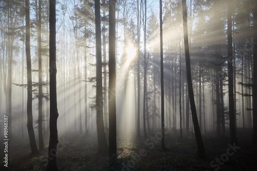 Sun rays through the foggy forrest - 98968387