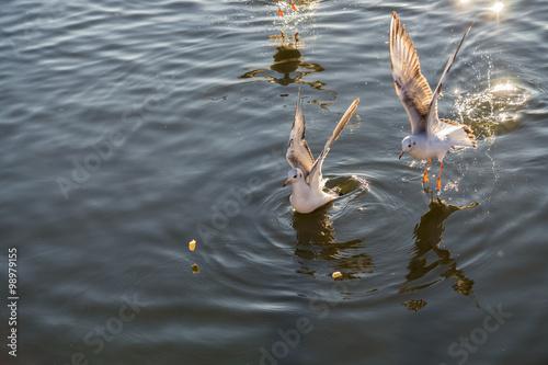 Mewy w wodzie