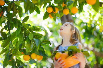 Adorable little girl picking fresh ripe oranges