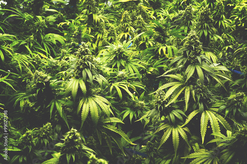 Background Texture of Marijuana Plants at Indoor Cannabis Farm with Flat Vintage Style
