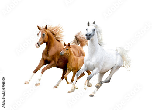 Fototapeta three arabian horses isolated on white