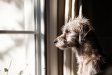 Lonely Dog Looking Out Window - 99032583