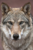 A young european wolf female with soiled nose, looking straight into the camera. Face portrait of a forest dangerous beast, Canis lupus lupus, on blur pink background. Beauty of the wildlife. - Fine Art prints