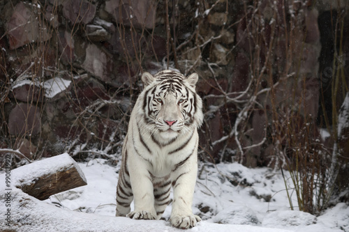 Gaze of a white bengal tiger, stepping over the fallen tree in snowy forest.