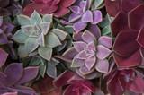 Fototapety Succulents