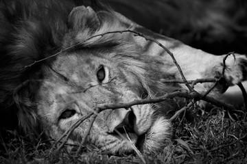 Löwe © Nadine Haase