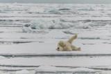 Polar Bear rolling on the Ice floas.