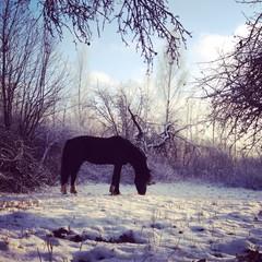 лошадь пасущаяся на заснеженном лугу морозным днем