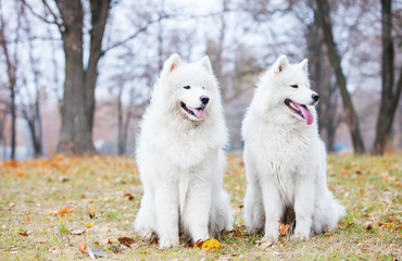 Dwa psy samoyed w parku jesień