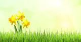 Osterglocken (Narzissen) erblühen in saftigem Frühlingsgras