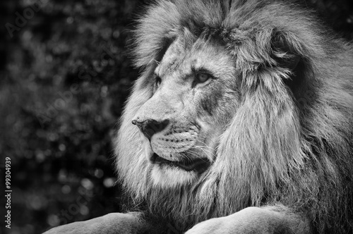 Poster Strong contrast black and white of a male lion in a kingly pose
