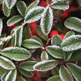 gelo su cespuglio con bacche rosse