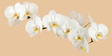 Fototapety romantic branch of white orchid